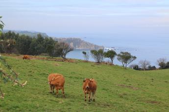 """Da die gesamte Küste von Steilklippen geprägt ist, verläuft der Camino oft """"oben"""" lang. Den Kühen wird´s egal sein"""