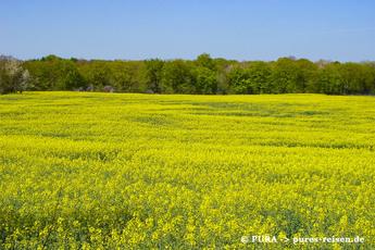 … und kurz darauf geht es entlang gelb blühender Rapsfelder…
