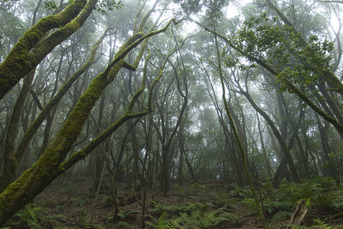 Der berühmte Nebelwald im Nationalpark Garajonay